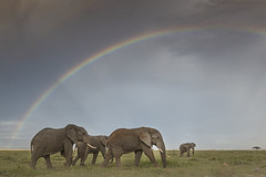 Elephant family & Rainbow (Devendra Deshmukh) Tags: elephants nikon africa amboseli rainbow