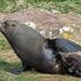 New Zealand Fur Seal #1