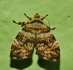 Mandalay Metal mark Moth Choreutis sp aff periploca Choreutidae Mandalay rainforest Airlie Beach P1200576 (Steve & Alison1) Tags: mandalay metal mark moth choreutis sp aff periploca choreutidae rainforest airlie beach