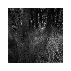 wetland woods 2015  #258b (lynnb's snaps) Tags: 120film 2015 mf tlr tarkovsky yashica635 bw film mediumformat shadows trees twinlensreflex yashicatlr wetlands sydney australia nature reeds dappledlight squareformat 6x6 blackandwhite bianconegro biancoenero bianconero blackwhite blancoynegro noiretblanc schwarzweis monochrome ishootfilm filmfilmforever filmneverdie