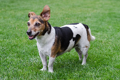 Week 12 (jessicajoy2) Tags: buster week12 12yearsold dog jackrussell summer 2019 home