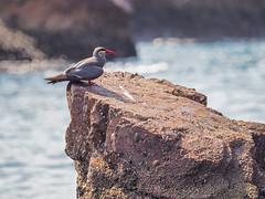 Inca Tern | P1045171-1 (:munna) Tags: inca tern ballestas islands national reserve peru