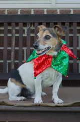 Week 13 (jessicajoy2) Tags: buster week13 12yearsold dog jackrussell summer 2019 home christmasday xmas