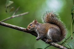 Squirrel (BEHP Photography) Tags: boardwalk preserve sixmileslough naturephotography wildlifephotography squirrel tree nap naptime branch green grey outside nikkor nikon bokeh ngc animal eyes mammal wild wildlife nature florida slough leaves webs tail fluffy coth5 photography