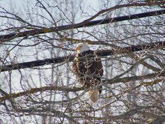 3/52/2020 Ruffled feathers (Hodgey) Tags: eagle baldeagle trees wires maine dryingoff 52weeksfornotdogs