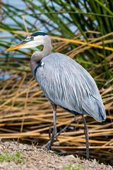 Great Blue Heron (Explore) (Daren Grilley) Tags: great blue heron gbh irvine water ranch uci bird marsh wetland socal nikon z z50 200500 san joaquin