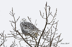 Harfang des neiges - Snowy Owl - Bubo scandiacus (MichelGuérin) Tags: 2020 birds buboscandiacus coc canada clubdesornithologuesdechâteauguay harfangdesneiges lightroomcc maskinongé michelguerin michelguérin nature nikkor200500mmf56eedvr nikon nikonafsnikkor200500mmf56eedvr nikond500 oiseaux qc québec saintbarthélemy snowyowl