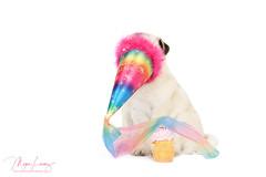 Happy Birthday (Megan Lorenz) Tags: piglet pig pug dog puppy canine pets purebred fawnpug birthday happybirthday birthdayhat studio whitebackground 1stbirthday mlorenz meganlorenz