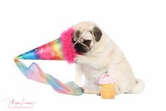 Get this off!!! (Megan Lorenz) Tags: piglet pig pug dog puppy canine pets purebred fawnpug birthday happybirthday birthdayhat studio whitebackground 1stbirthday mlorenz meganlorenz