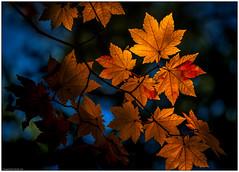 Kamikōchi - Dark Forest III (niggyl :)) Tags: japan nihon kamikōchi chūbusangakunationalpark naganoprefecture azusariver fujifilm fujifilmxh1 fujixh1 xh1 xtranssensor fujixmount fujinon fujinonxf552003548rlmois fujixf55200r xf55200r3548 xf55200 tree trees forest autumn autumncolours fall fallcolors japanesecedar mapleforest beechforest larchforest darkforest dxolabs nikcollection colorefexpro4 colorefexpro nationaltreasure parks nationalpark japanesealps mountains valleys alpine alps