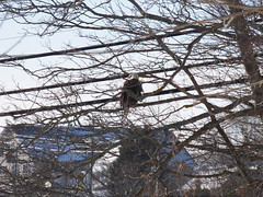 Drying off (Hodgey) Tags: eagle baldeagle trees wires maine dryingoff
