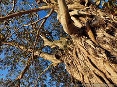 Russell moreton bay fig tree circa 1880 (Julie V. Simpson Photographer) Tags: russell russellnewzealand bayofislands beautifulplace amazingview instadaily instagram instanature picoftheday photographer naturelovers fantastic amazing beautifulworld beautifulview bestoftheday newzealand