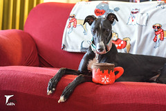 Hot Chocolate -- Explored (houndstooth4) Tags: dog greyhound rose puppy 352ddc dogchal 52weeksfordogs