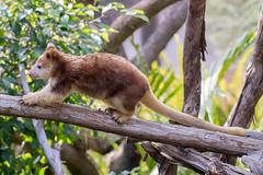 Luka the Tree Kangaroo. (LisaDiazPhotos) Tags: tree kangaroo luka lisadiazphotos sdzsafaripark sdzoo sdzsp sandiegozoo sandiegozooglobal sandiegozoosafaripark walkabout australia