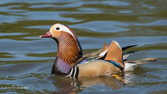 Mandarin Duck - Male 501_9933.jpg (Mobile Lynn) Tags: wildfowl nature birds ducks mandarinduck aixgalericulata anseriformes bird duck fauna wildlife estuaries freshwater lagoons lakes marshes ponds waterfowl webbedfeet egham england unitedkingdom specanimal