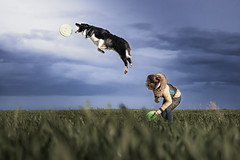 Flying (czypek) Tags: dog bordercollie animal majestic nature pet mammal domestic purebred outdoor pedigree canine puppy awesome sky grass field flying sport jump action frisbbe