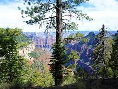 Tree (thomasgorman1) Tags: samsung tree trees canyon park outdoors hiking travel az arizona conifer pine pines