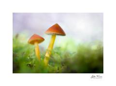You'll never walk alone (g.femenias) Tags: mushrooms fungi moss nature naturallight macro macrophotography bonany petra mallorca hygrocybeconica pixaconill barretdebruixa