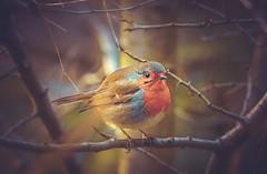 Robin (Dhina A) Tags: sony a7rii ilce7rm2 a7r2 a7r fe 24105mm f4 sonyfe24105mmf4 zoom lens bokeh sharp sel24105g robin bird