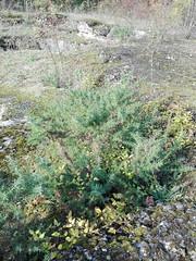 Ulex europaeus (L'herbier en photos) Tags: légumineuses fabaceae papilionaceae leguminosae ulex europaeus ajonc deurope common gorse tojo europe malonne namur wallonie belgique marlagne fort pa0402 ecoid664