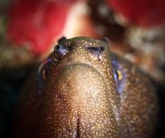 2FaCeS (Tè Bwa Dlô) Tags: antilles gymnothorax miliaris murène porcelaine caraïbe dive frenchwestindies mer macro nature plongée réservenaturelledesaintbarthélemy reef récif saintbarthélemy scubadiving underwater wild wildlife