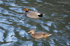 Pärchen aus Stockente und Schnatter- x Stockente (Corinna John) Tags: duck ente wasser water bird vogel hannover stockente schnatterente