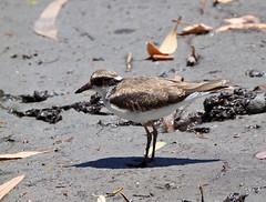 Black-fronted  Dotterel - (Elseyornis melanops) (Juv.) (tregotha1) Tags: forrest lakes