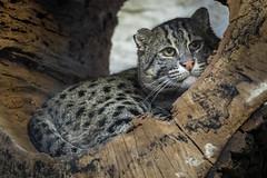 Fischkatze (DeanB Photography) Tags: 1dx 2020 7dmarkii animals canon tiere tierwelt zoo zooduisburg animal