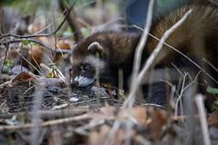 Frettchen (DeanB Photography) Tags: 1dx 2020 7dmarkii animals canon tiere tierwelt zoo zooduisburg animal