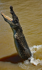 Jumping crocodile . Adelaide River (Uhlenhorst) Tags: 2009 australia australien animals tiere travel reisen blueribbonwinner