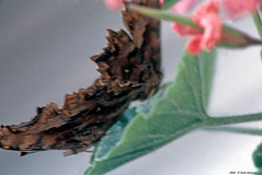 Su una foglia (Paolo Bonassin) Tags: insetti insects butterflies farfalle