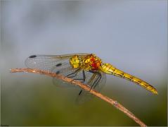 Libélula de alas amarillas. (josemph) Tags: olympus e3 sigma 105mm macro zuiko ec14 insectos odonatos anisópteros libéluladealasamarillas sympetrumflaveolum