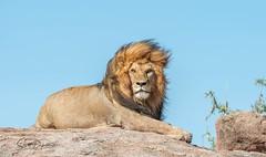 DSC_1240 (mrhikerman) Tags: lion big cat africa serengeti