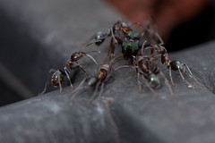 D75_4691 (crispiks) Tags: nikon d750 micro 105mm f28 macro close up its a bugs life insects r1c1 ants