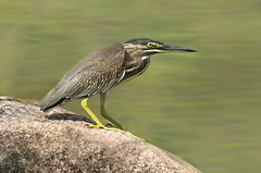 Striated Heron (ashockenberry) Tags: ashleyhockenberryphotography animal avian wildlife wild wildlifephotography wilderness water wings wading eco exotic ecosystem reserve rainforest travel tourism tropical habitat heron jungle landscape light majestic marsh nature naturephotography natural native beautiful beauty bird birding beak birdwatching singapore satay marina bay striated asian