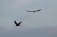 IMG_0977 (Christandl) Tags: kaiseradler adler burgenland nationalpark wildlife wildbirds wildlifephotographie