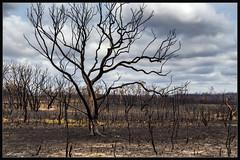 A Landscape Gone (itsallgoodamanda) Tags: amandarainphotography australia australianphotography australianlandscape australiassouthcoast summer2020 burntlandscape gumtrees landscape landscapecoast burntbush burnttrees jervisbayphotography shoalhaven southcoast southcoastfires2020 mortonnationalpark tianjara tamron18200mm newsouthwales nationalpark photography photoborder itsallgoodamanda devastation jerrawangala yerrigongstateforest tiangarafire