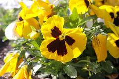 Pasqua_20194018 (Joanbrebo) Tags: flors flores flowers fiori fleur blumen blossom etxalar navarra españa canoneos80d eosd autofocus