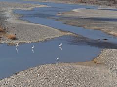 Great egrets (Ardea alba,ダイサギ) (Greg Peterson in Japan) Tags: 野鳥 egretsandherons wildlife shiga japan 滋賀県 birds ダイサギ shigaprefecture