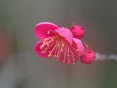 Pink plum blossoms (梅) (Greg Peterson in Japan) Tags: 近江富士花緑公園 plants shiga flowers yasu plumblossoms 植物 japan 滋賀県 梅 野洲市 花 shigaprefecture