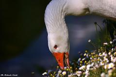 Oca 046 (Rolando CRINITI) Tags: oca uccelli uccello birds ornitologia avifauna villaserra natura