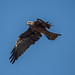 Black Kite: Inquisitive