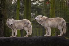 Wolf (DeanB Photography) Tags: 1dx 2020 7dmarkii animals canon tiere tierwelt zoo zooduisburg animal