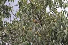 Bar-throated Minla, Mishmi Hills, Arunachal Pradesh, India, April 2013 (Sterna999) Tags: india indien arunachalpradesh mishmihills bird nature river wildlife hills fluss vogel flus barthroatedminla