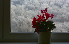 January behind the window (Slávka K) Tags: red flowers view window cyclamen athome trees forest snow january 2020