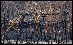 Spirit animals behind the trees (itsallgoodamanda) Tags: amandarainphotography australia australianphotography australianlandscape australiassouthcoast summer2020 burntlandscape gumtrees landscape landscapecoast burntbush burnttrees jervisbayphotography shoalhaven southcoast southcoastfires2020 mortonnationalpark tianjara tamron18200mm newsouthwales nationalpark photography photoborder itsallgoodamanda devastation