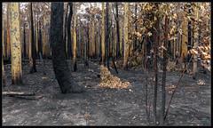 Forest of Hope (itsallgoodamanda) Tags: amandarainphotography australia australianphotography australianlandscape australiassouthcoast summer2020 burntlandscape gumtrees landscape landscapecoast burntbush burnttrees jervisbayphotography shoalhaven southcoast southcoastfires2020 tianjara tamron18200mm newsouthwales nationalpark photography photoborder itsallgoodamanda devastation jerrawangalanationalpark