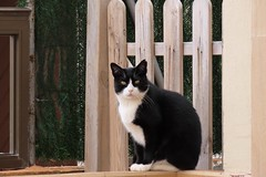 IMG_0418 Melquiades (Fernando Sa Rapita) Tags: mallorca sarapita melquiades cat gato mascota pet canon canonpowershot powershotsx70hs