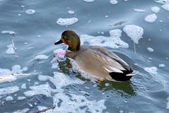 Schnatter- x Stockente stellt sich gegen den Müll (Corinna John) Tags: duck ente wasser water bird vogel hannover stockente schnatterente