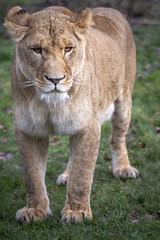 Löwe (DeanB Photography) Tags: 1dx 2020 7dmarkii animals canon tiere tierwelt zoo zooduisburg animal